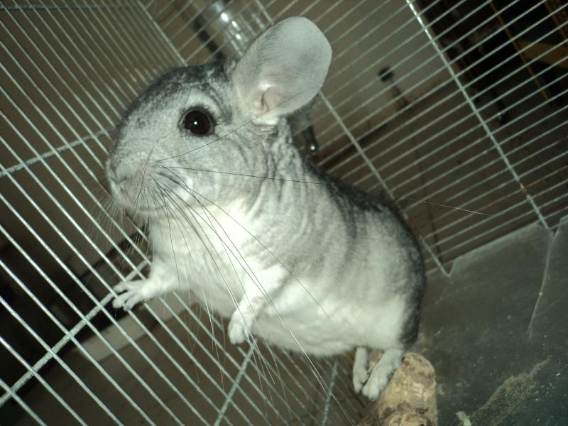 chinchilla  ENZO ( Adopte ! ) Dsc09012