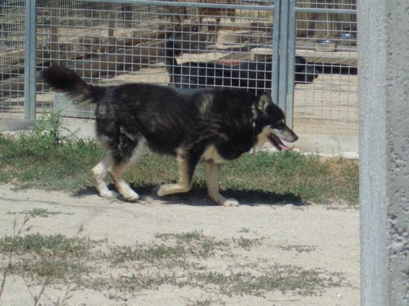 ULLA X Husky née en janvier 2001( f ) adoption uniquement REFU83  39458210