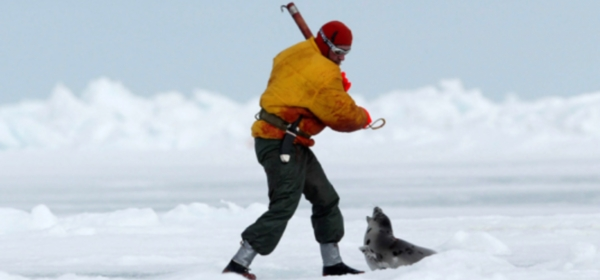 Halte au massacre des phoques au Canada Petiti10