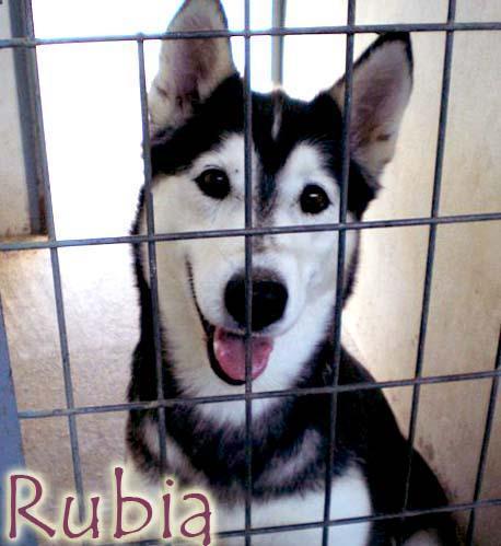 Rubia husky sauvée de l'euthanasie,PAS DE CHATS  NEE 12/2005/REFU ESPAGNE  ADOPTEE - Page 5 Rubia510