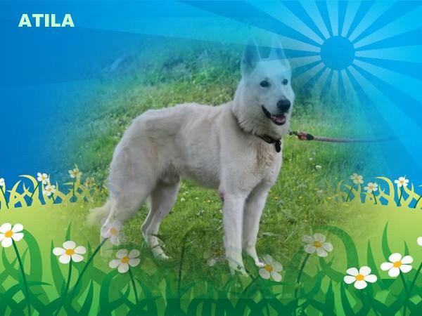 Atila 6 ans adopté Atila110