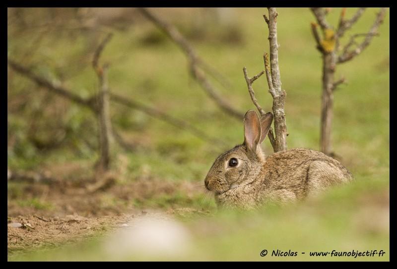 Mes photos animalières + ajout 22/04=> le voilà en bois... - Page 5 Lapin110