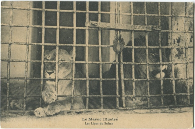 LE LION D'IFRANE Aa_aal10