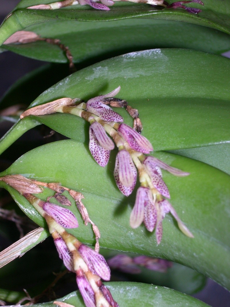 Pleurothallis pubescens 74fleu10
