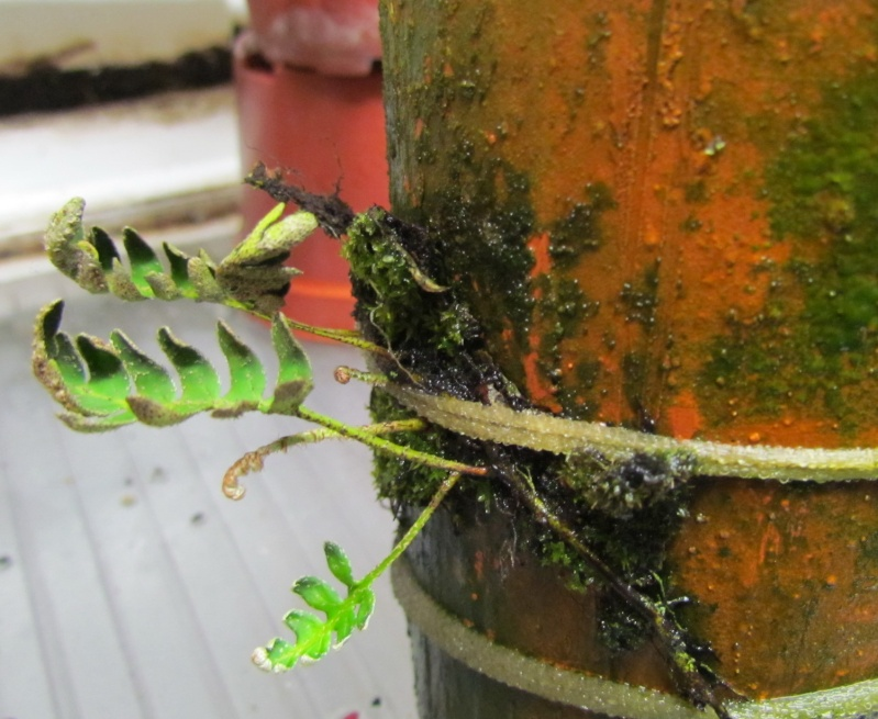 Pleopeltis polypodioides nouvelles photos. Essais terminé. Nouvelle photo. Apras_10