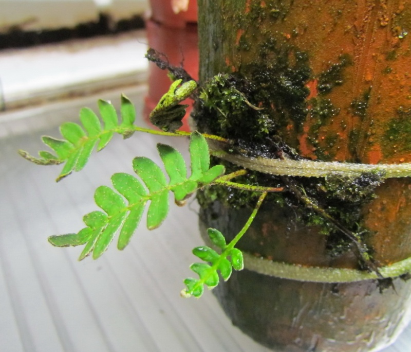 Pleopeltis polypodioides nouvelles photos. Essais terminé. Nouvelle photo. Apras_13