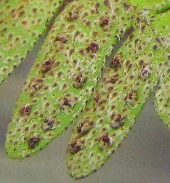 Pleopeltis polypodioides nouvelles photos. Essais terminé. Nouvelle photo. Img_0335