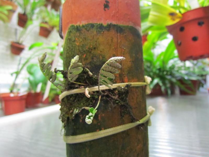 Pleopeltis polypodioides nouvelles photos. Essais terminé. Nouvelle photo. Img_0339