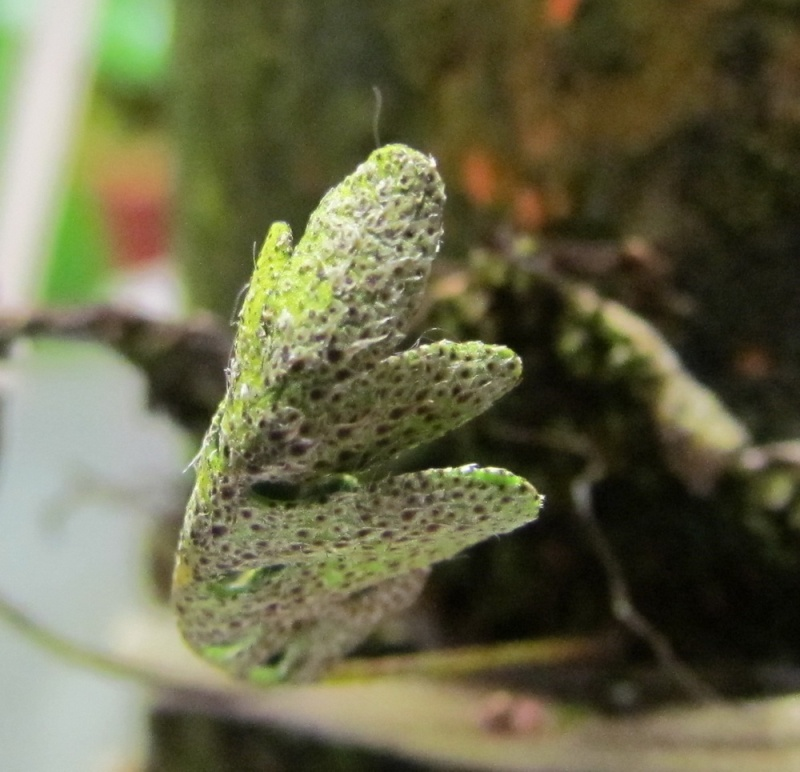 Pleopeltis polypodioides nouvelles photos. Essais terminé. Nouvelle photo. Img_0340