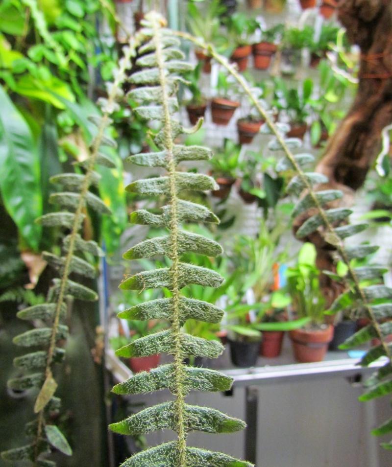 Polypodium bombycinum Img_0546