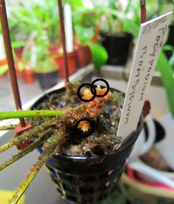 Polypodium bombycinum Img_0715