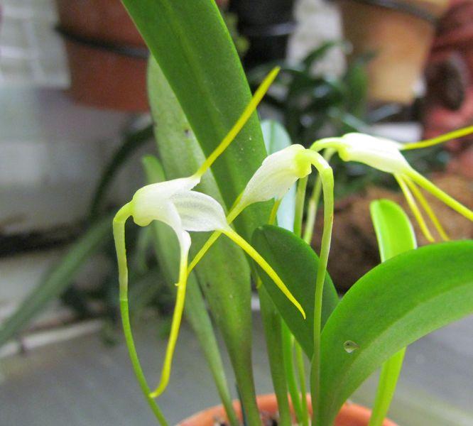 Acinopetala scabrilinguis ( ex. Masdevallia scabrilinguis) Img_0947