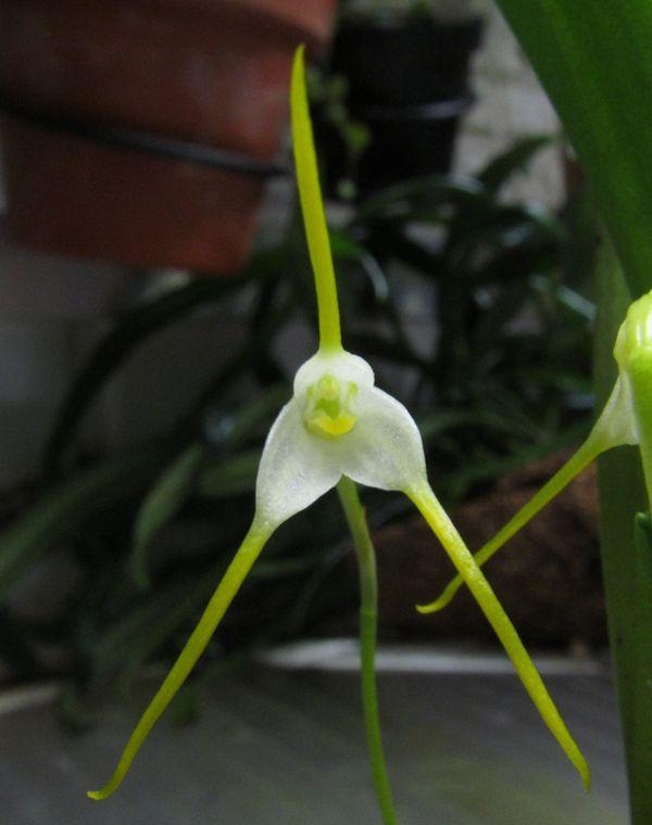 Acinopetala scabrilinguis ( ex. Masdevallia scabrilinguis) Img_0948