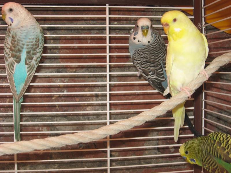 petite photo de mais 4 perruches ondulées  Img_0417
