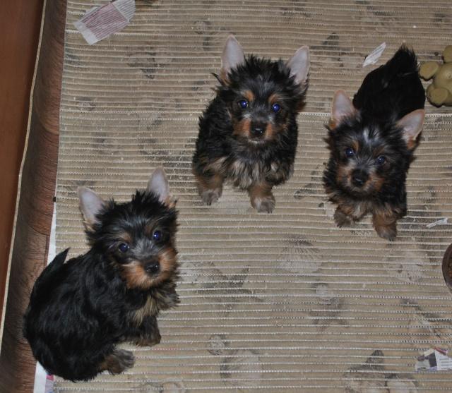 Щенки Силки терьера, помет Е./Silky Puppies Litter E  -  30.08.2011г. Ddnddu11