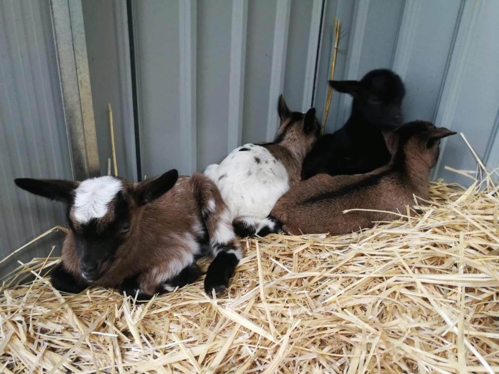 Chèvres naines et leurs chevreaux  Receiv11