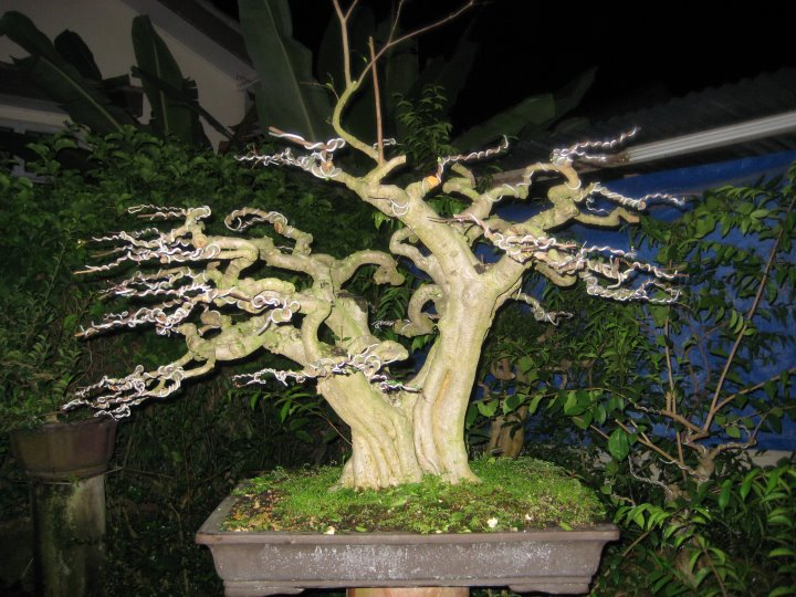 Some Stunning Wrightia Religiosa from Malaysia. 29439410