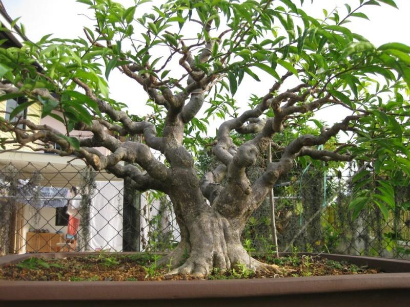 Some Stunning Wrightia Religiosa from Malaysia. 39471310