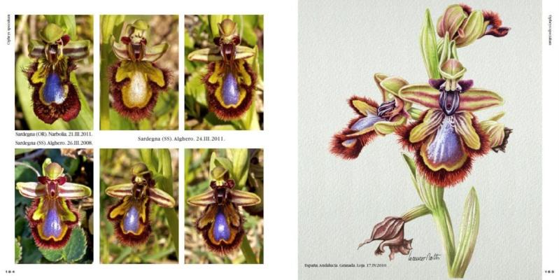 Ophrys d'Italia R210