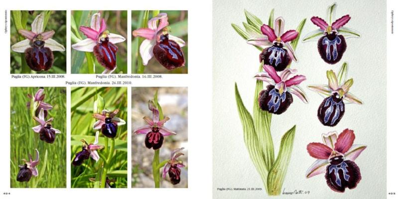 Ophrys d'Italia R410