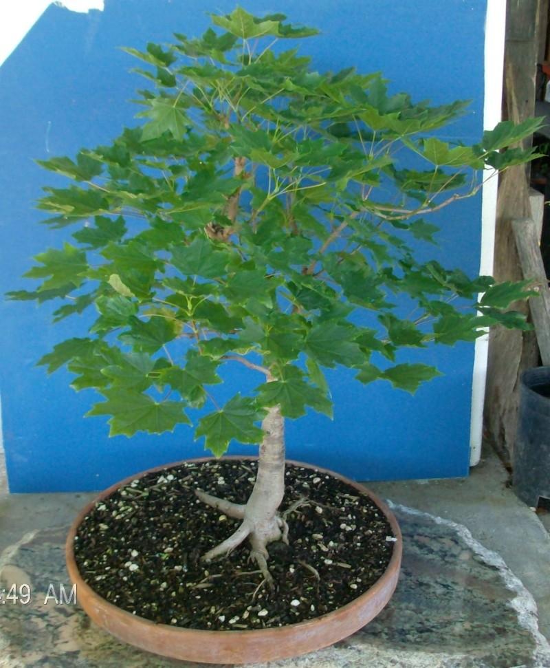 ACER Palmatum root problem ? (newbie) Cr07910