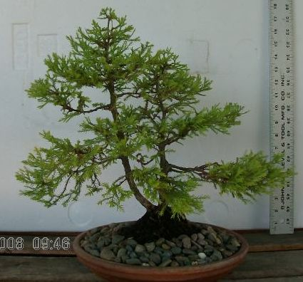 Out-of-its-comfort-zone Thuja Hpim0212