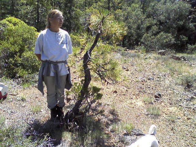 American Native genus/species for bonsai Mounta15