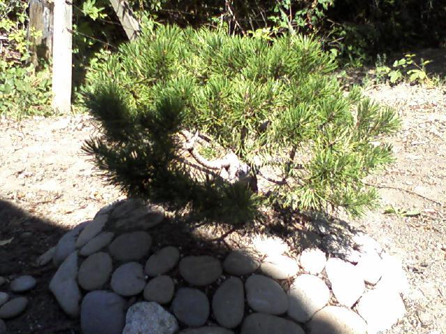 mugo pine styling... Mounta17