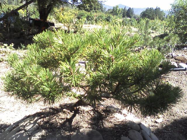 mugo pine styling... Mounta18