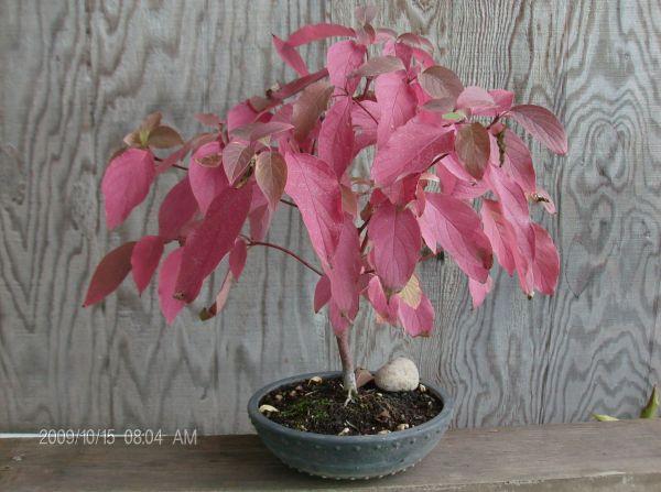 American Native genus/species for bonsai Phpsxo10