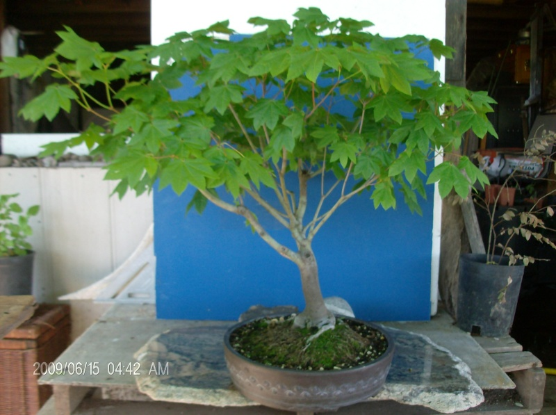 American Native genus/species for bonsai Pics_010
