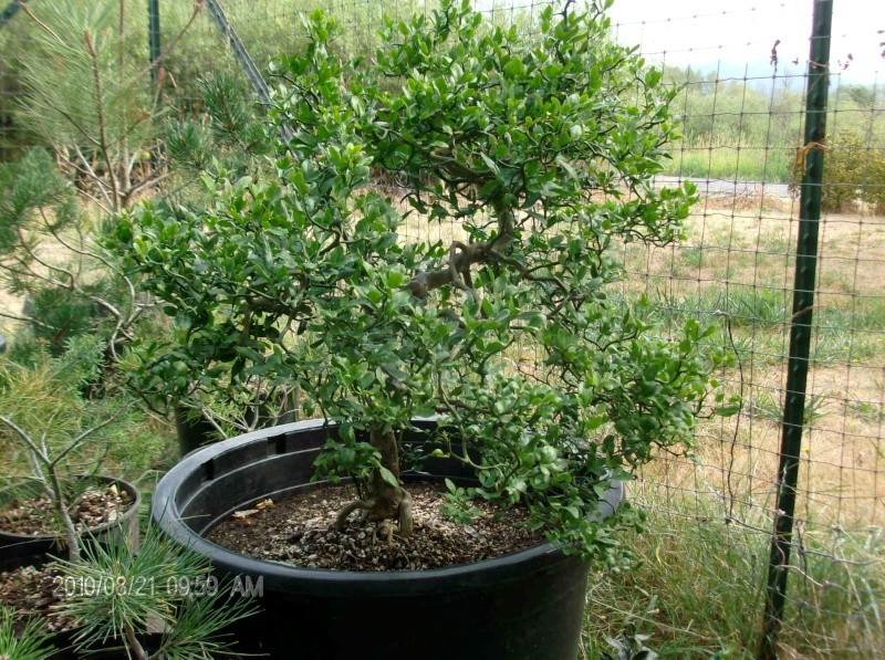 Possible Citrus tree??? Rosema10