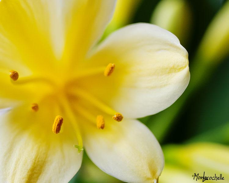 Clivia solomone Light Yellow Strain Clivia10