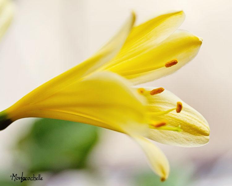 Clivia solomone Light Yellow Strain Clivia11