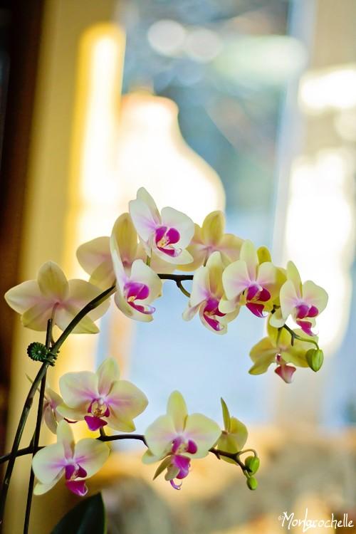 Phalaenopsis, nouveau, sans identification. Nommé par moi Rose-Jaune Orchph14