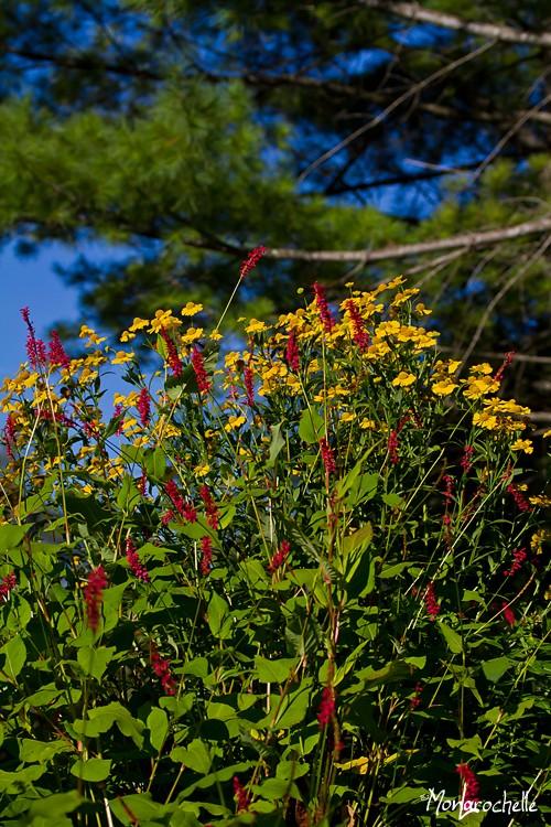 Persicaria Firetail Persic10