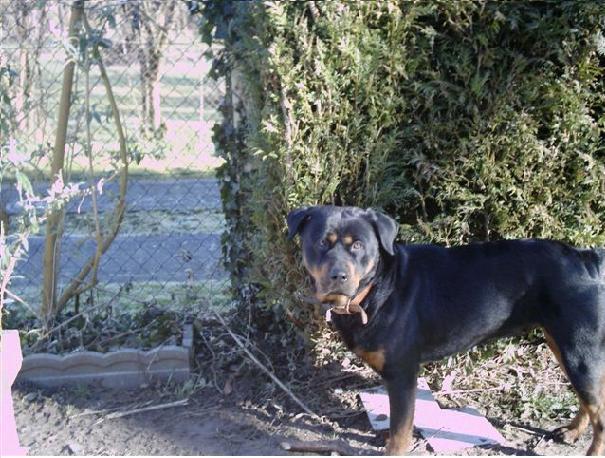 URGENT :  YENA femelle rottweiler 5ans dans le 77 40600011