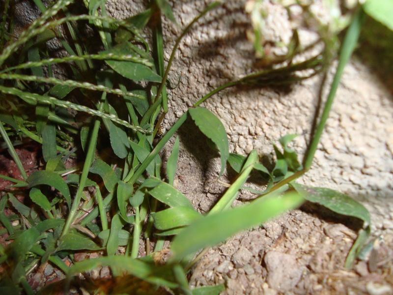 Jeune couleuvre verte et jaune [Hierophis viridiflavus] Dsc02419