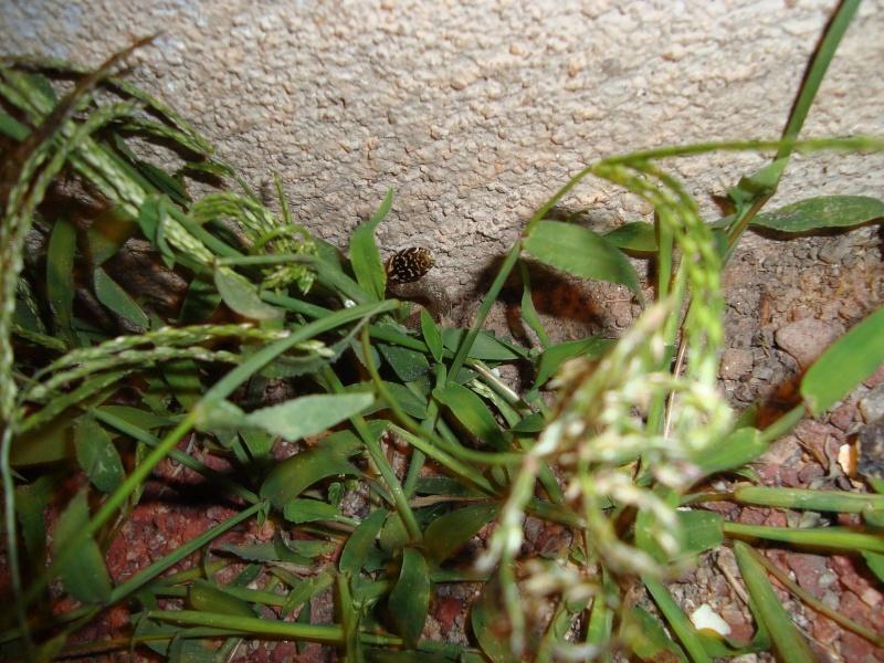 Jeune couleuvre verte et jaune [Hierophis viridiflavus] Dsc02420