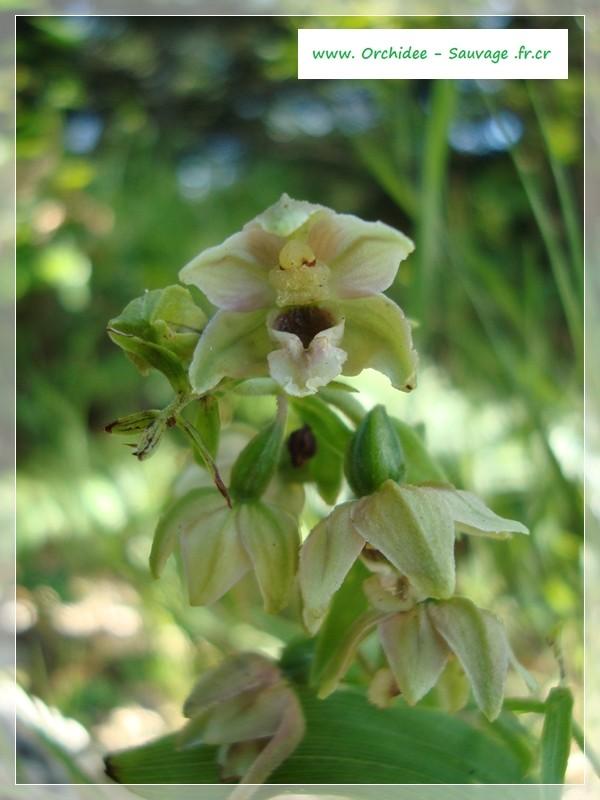 Epipactis helleborine subsp minor... photos Dsc02426