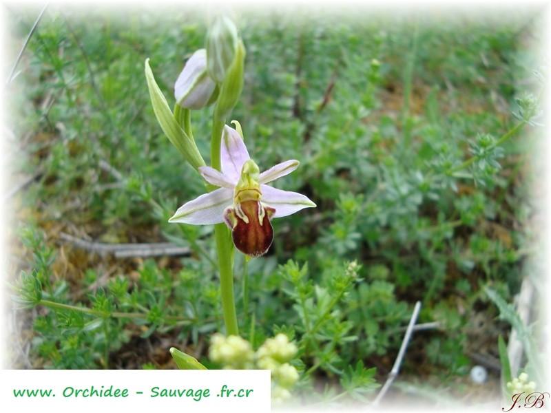 Ophrys apifera var ?? Ophrys10