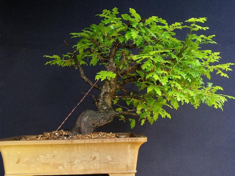 Oak from 2006 001_2710