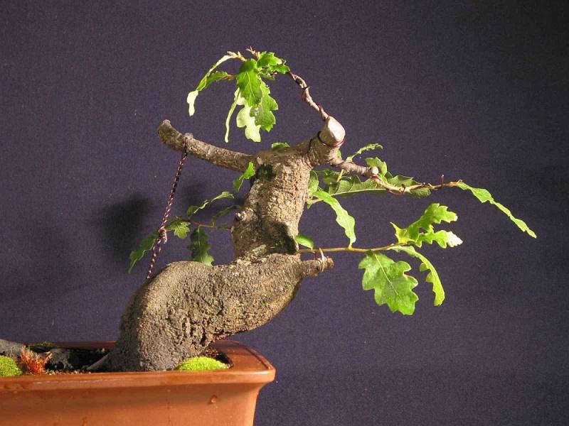 Oak from 2006 026_0910