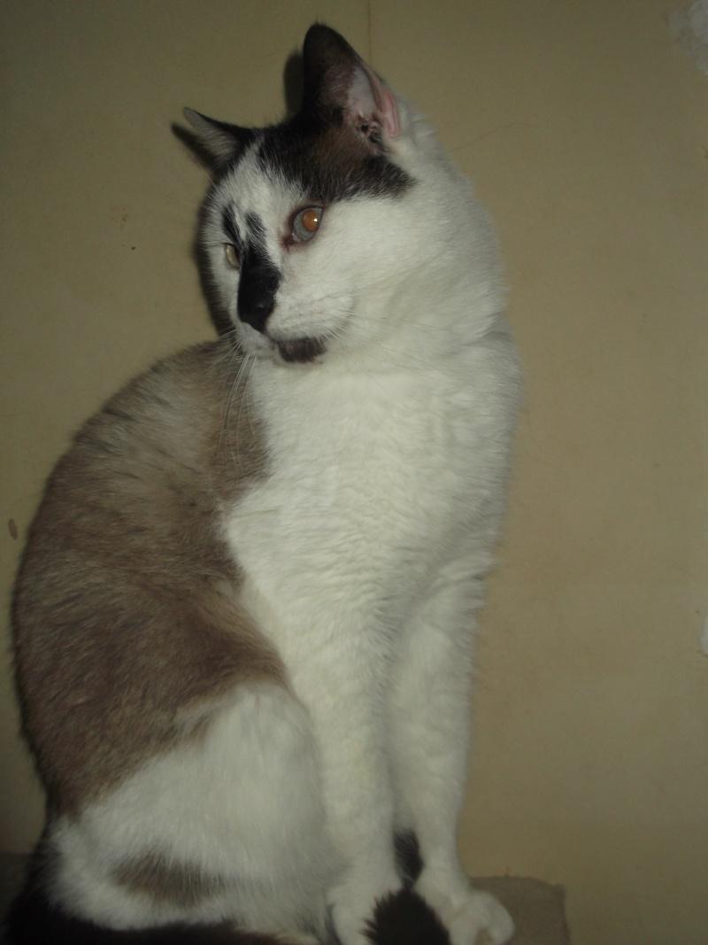 FELIX  CHat male en fourrière né  29/09/2004  adopté par LA CHATAIGNERAIE (37) Dscf0318