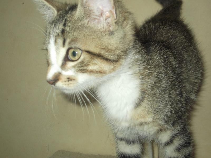 Hadès, chaton tigré et blanc né le 11/05/2012  par NADINE (36) Dscf1820