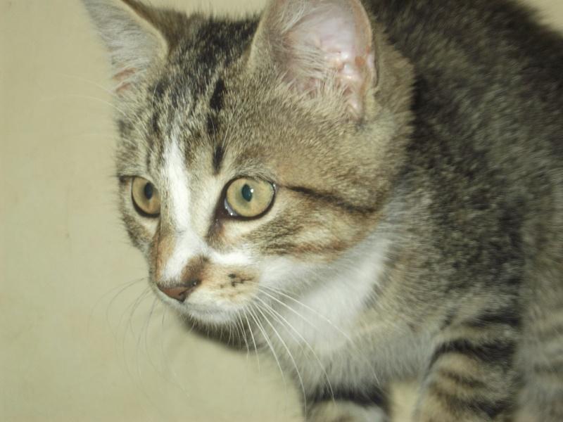 Hadès, chaton tigré et blanc né le 11/05/2012  par NADINE (36) Dscf1821