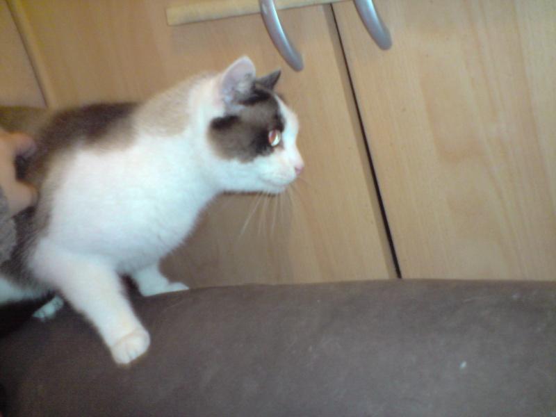 Kiki   croisé siamois né 30/01/09  adopté  par Sylvie  (26 ) P2312110