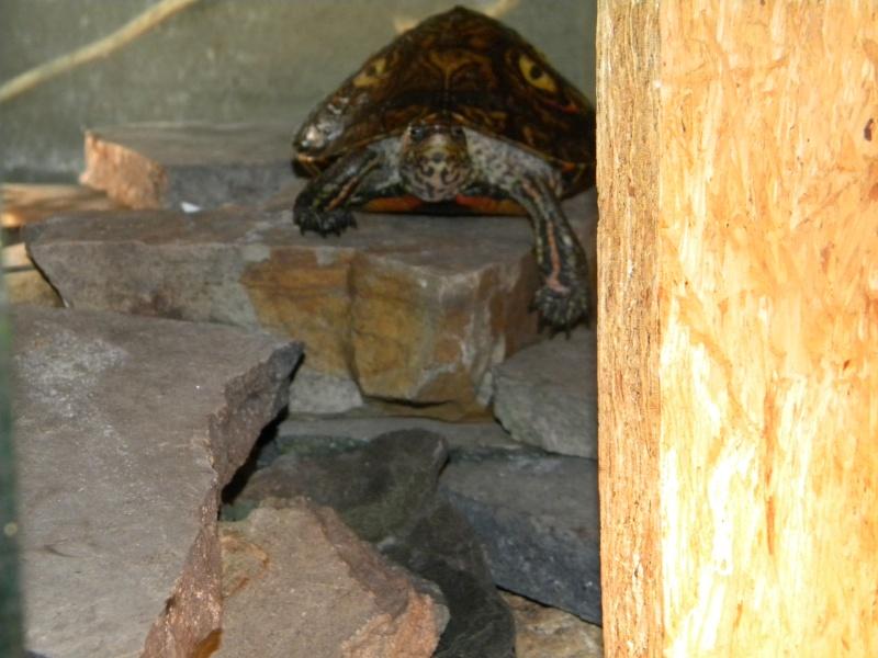 L'aquaterrarium de ma Rhinoclemmys pulcherrima Dscn2831