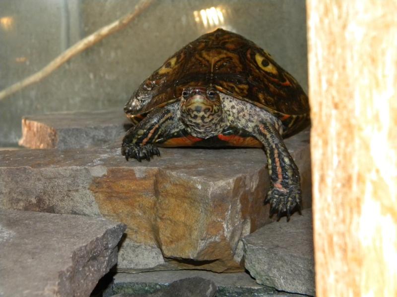 L'aquaterrarium de ma Rhinoclemmys pulcherrima Dscn2832