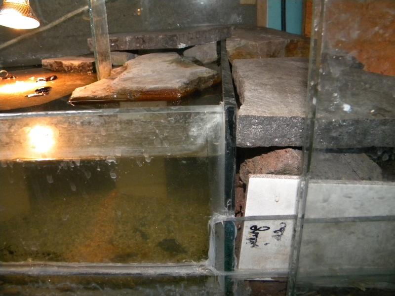L'aquaterrarium de ma Rhinoclemmys pulcherrima Dscn2924